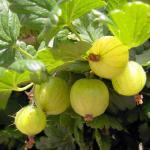 Spiced Gooseberries